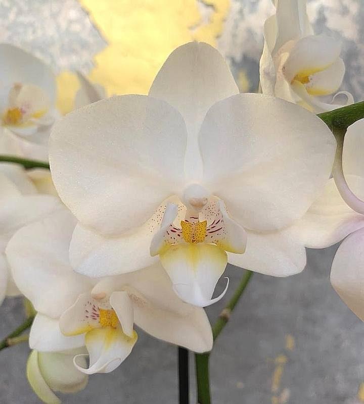 סחלב פלנופסיס מולטיפלורה לבן פרח