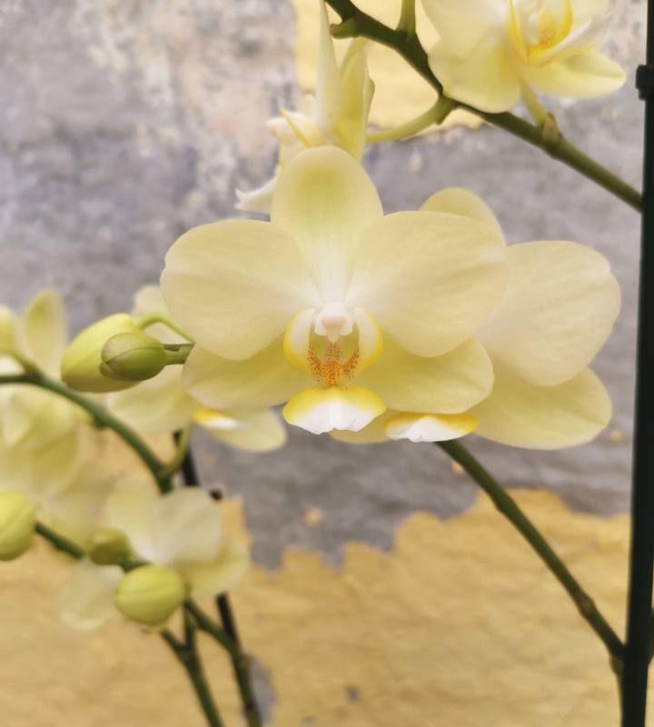 סחלב פלנופסיס מולטיפלורה צהוב פרח