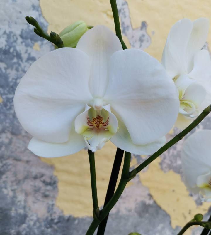 סחלב פלנופסיס קלאסי לבן פרח