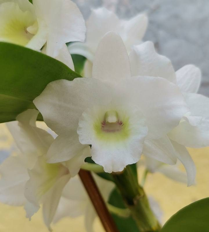 סחלב דנדרוביום נובילה לבן פרח