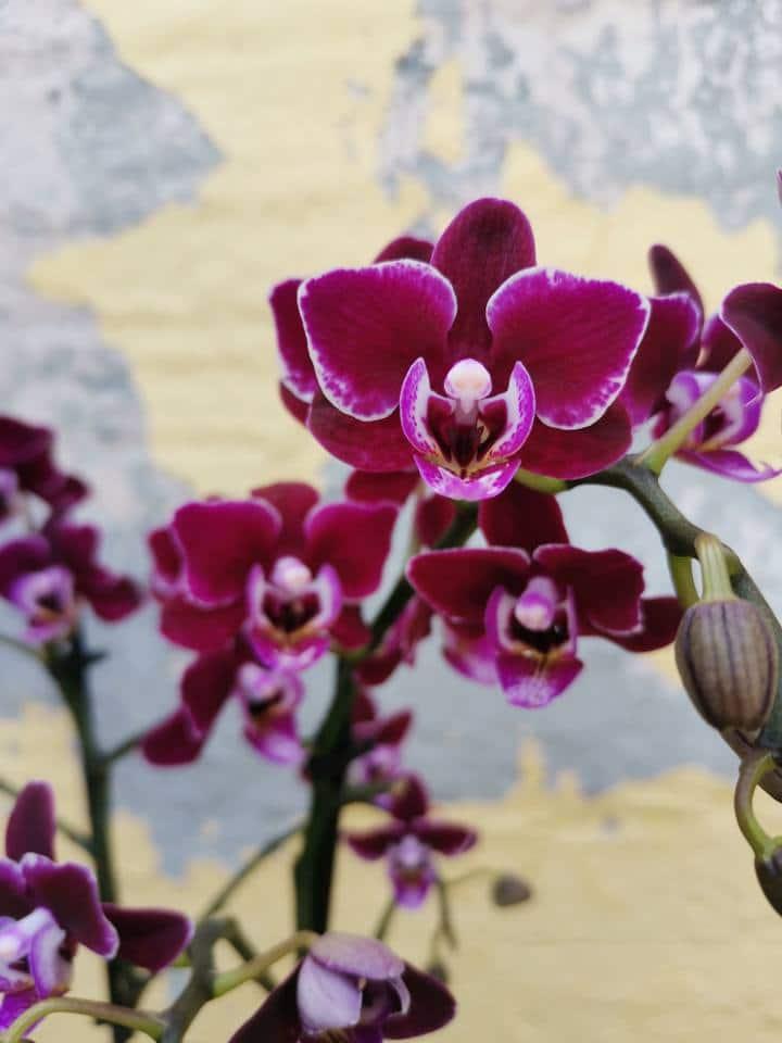 סחלב פלנופסיס מולטיפלורה סגול כהה פרח