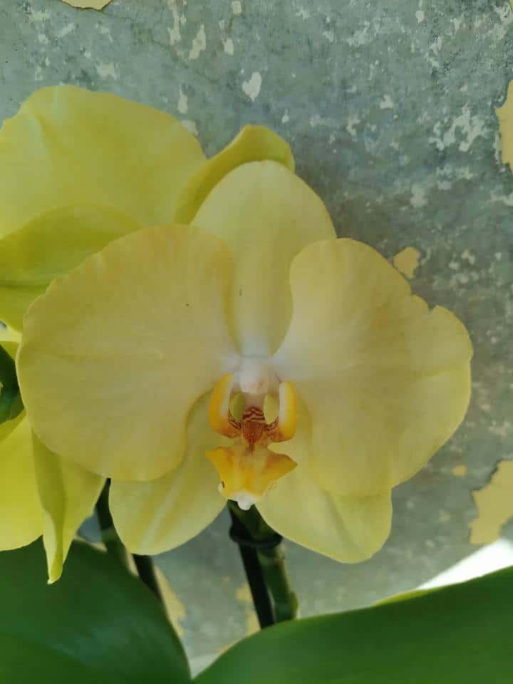 סחלב פלנופסיס קלאסי צהוב פרח
