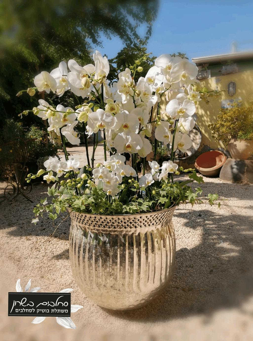 סידור סחלבים חתונה לבנה