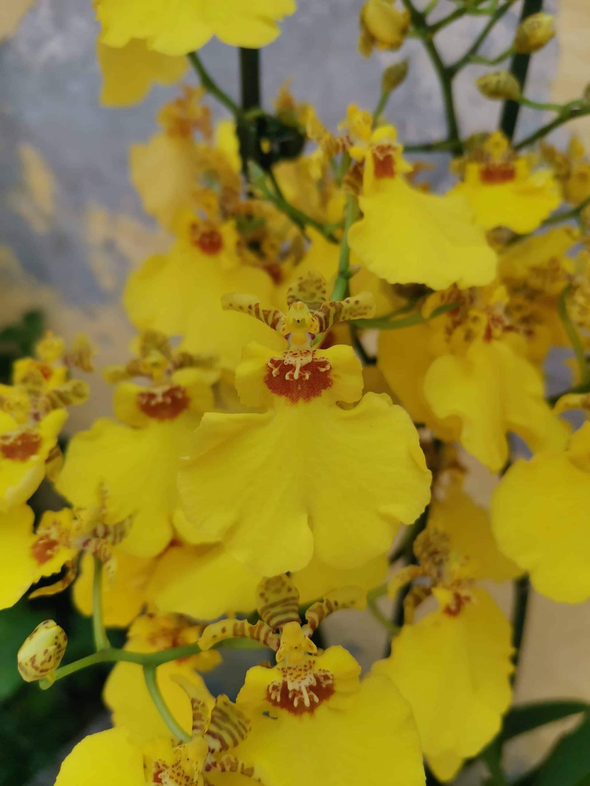 סחלב אונצידיום פרח